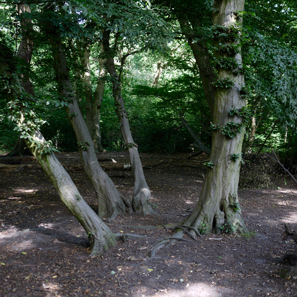 Old Hornbeam coppice, Highgate Wood