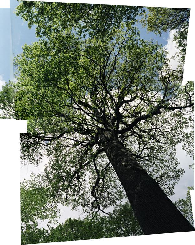 Chêne de l'Ecole, 350 year-old maiden oak