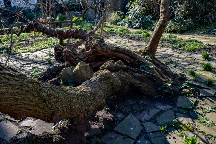 Hollow and split trunk at Canonbury